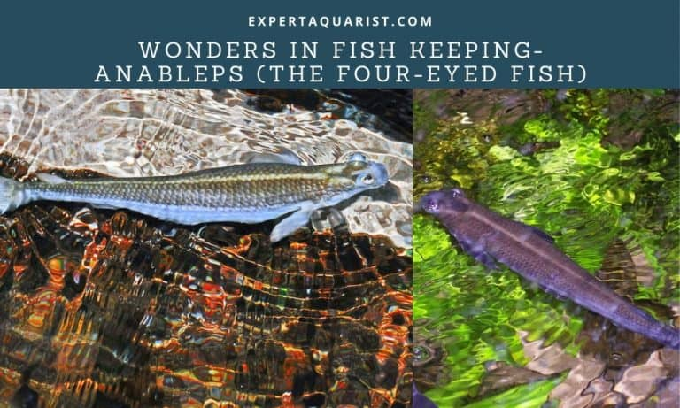 Wonders in Fish Keeping- Anableps (the Four-eyed Fish)