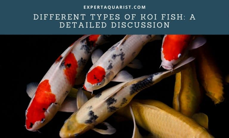 Different Types of Koi Fish: A Detailed Discussion