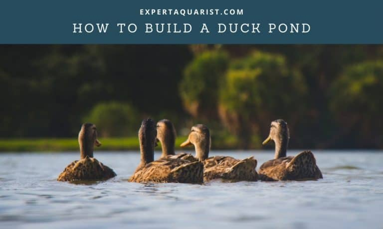 How To Build A Duck Pond: Explained In 7 Simple Steps