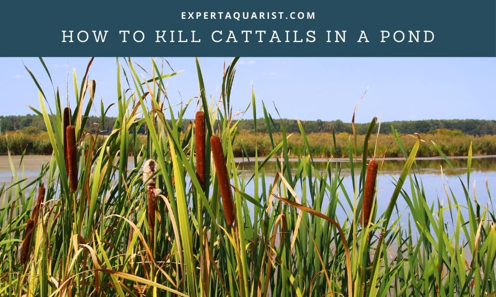 How To Kill Cattails In A Pond