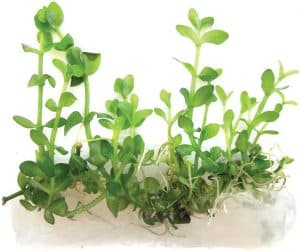 Bacopa caroliniana Lemon Bacopa
