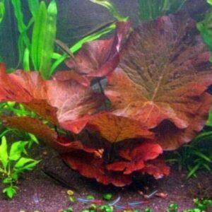 Dwarf Water Lily Nymphaea Stellata Rubra
