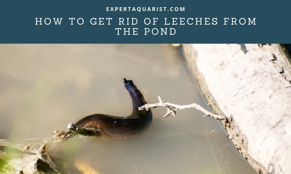 How To Get Rid Of Leeches From The Pond