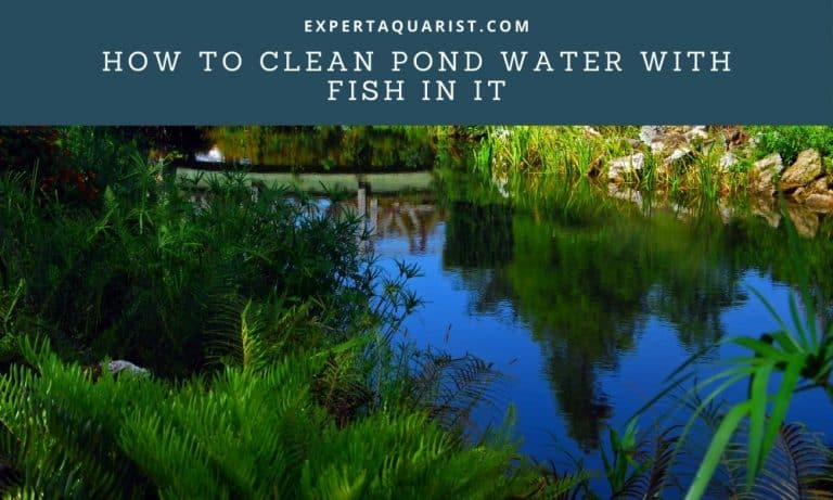 How To Clean Pond Water With Fish In It