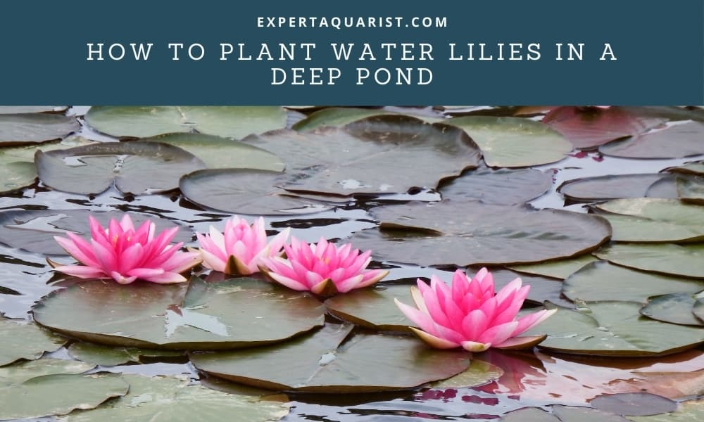How to plant Water lilies in a deep pond