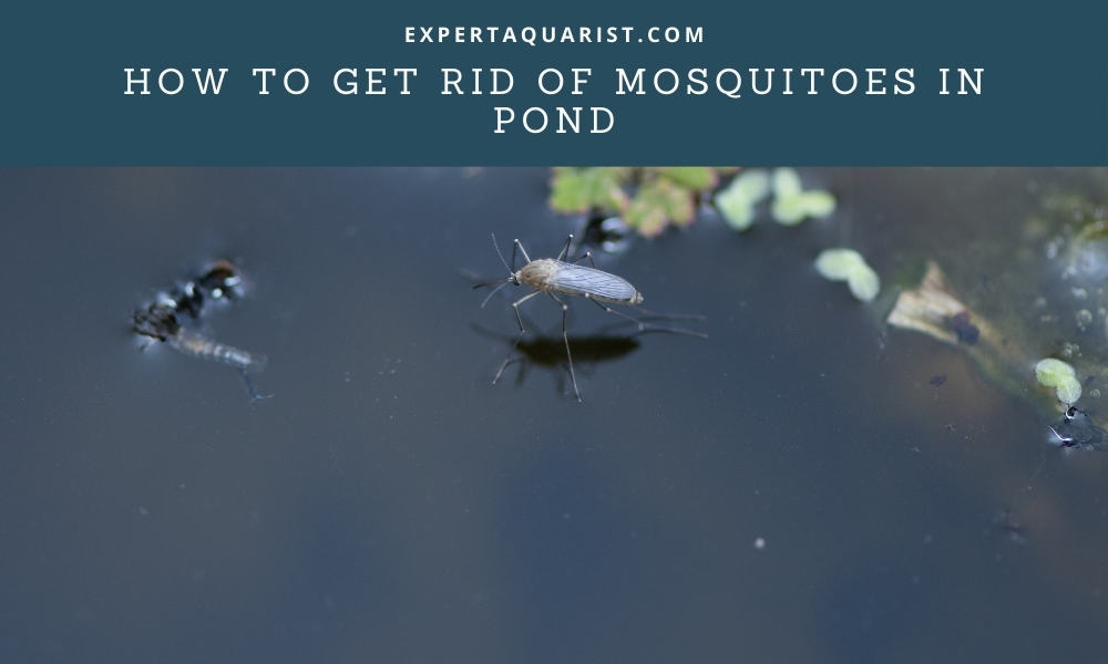 How to get rid of mosquitoes in pond