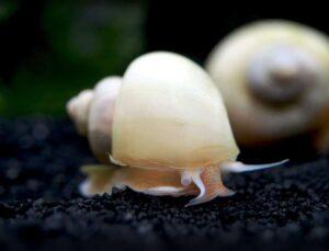 Ivory Mystery Snail