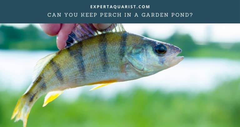 Can You Keep Perch In A Garden Pond?