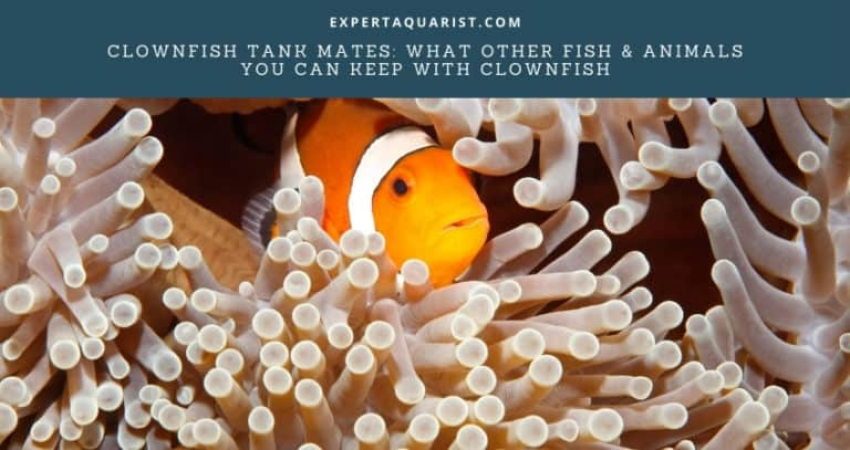 Best Clownfish Tank Mates: Fish & Animals You Can Keep With Clownfish