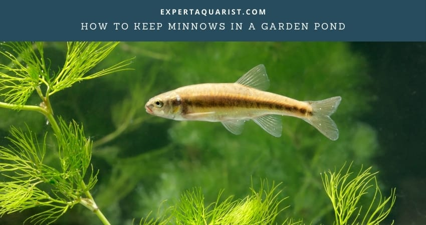 How To Keep Minnows In A Garden Pond