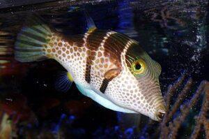 Valentin's Sharpnose Pufferfish