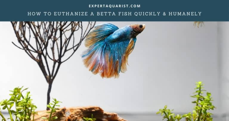 How To Euthanize A Betta Fish Quickly & Humanely