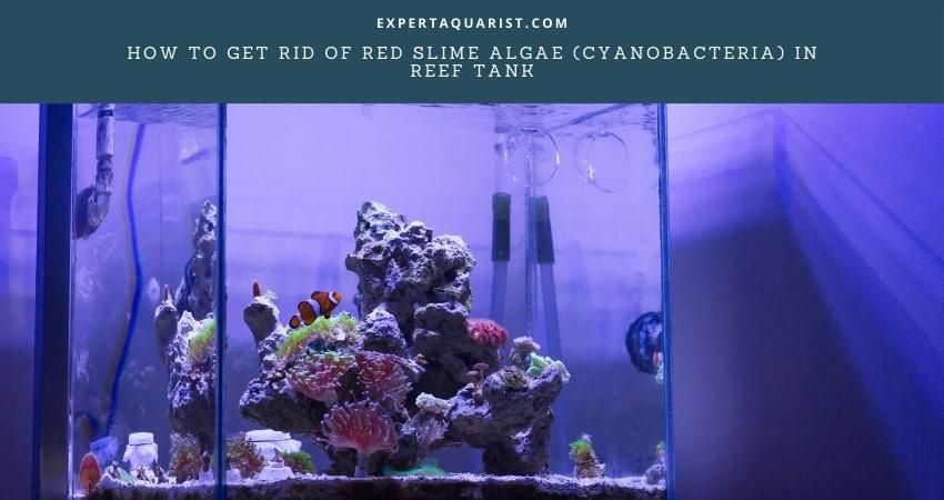 How To Get Rid Of Red Slime Algae In Reef Tank