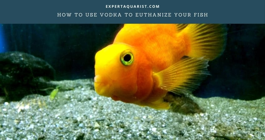 How To Use Vodka To Euthanize Your Fish
