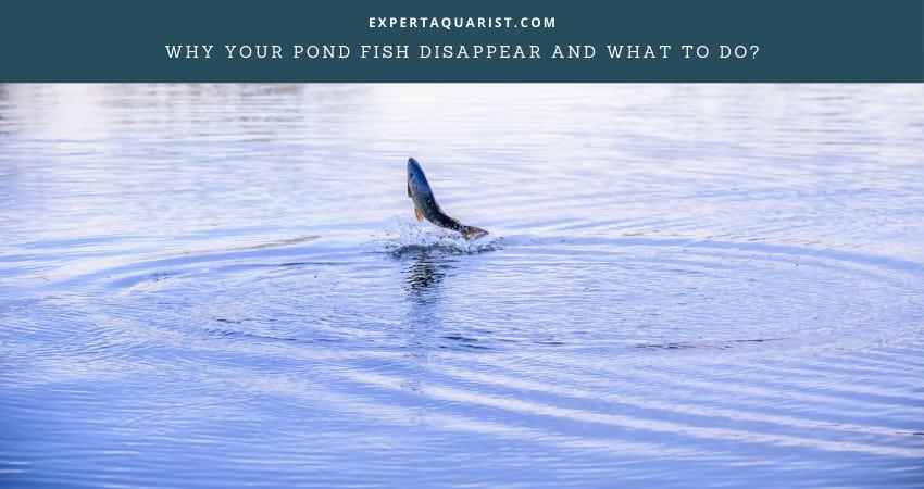 Why your pond fish disappear